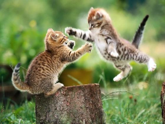 Funny-Fight-Animals-Cats-Fighting-1